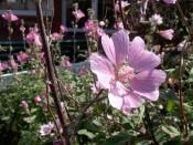 Baltrum, Zierpflanze Malvaceae