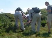 Baltrum, gefunden: die Moosbeere (Vaccinium)