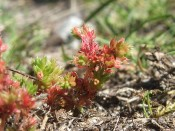 Moos-Dickblatt (Crassula tillaea)