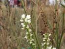 Weiße Steinklee (Melilotus albus)