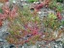 Roter Gänsefuß (Chenopodium rubrum).