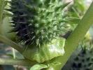 Stechapfel (Datura stramonium)