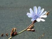 Wegwarte (Cichorium intybus). Blüte