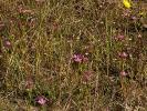 Borkum, Strand-Tausendgüldenkraut (Centaurium littorale)