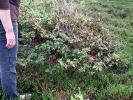 Spiekeroog, Rotbuche (Fagus sylvatica)