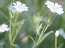 Große Sternmiere (Stellaria holostea)