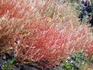 Wanzensame (Corispermum leptopterum)
