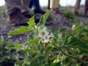 Argentinischer Nachtschatten (Solanum physalifolium)